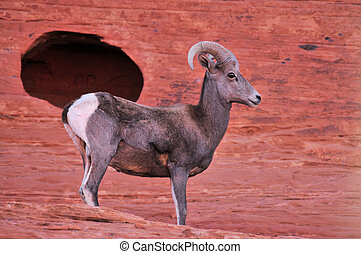 Bighorn - The Bighorn sheep in the Valley of Fire in Nevada