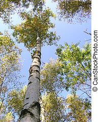 The birch 5