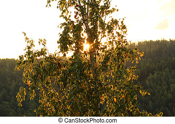 Birch in the rays of sunset