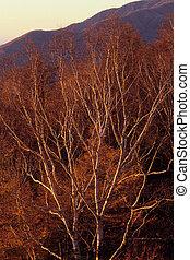 The Birch tree glow,