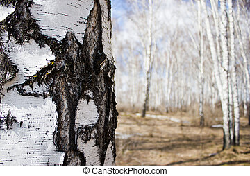 The birch tree in spring forest