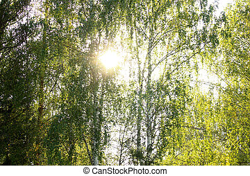 Birches in the sunlight