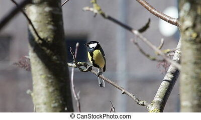 The bird a titmouse big sits on mountain ash branch and...