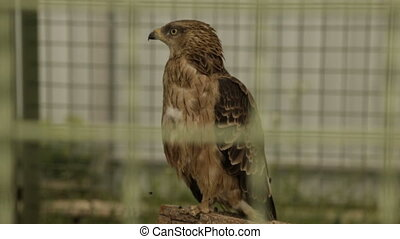 The bird of prey is a hawk in a cage - Winged predator in a...