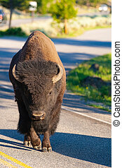 The bison on the road in Yellowstone National Park, Wyoming. USA.