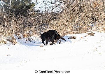 The black cat goes into the woods in winter. Cat and snow, snowy landscape, forest.