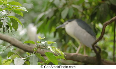 The black-crowned night heron (Nycticorax nycticorax) perched on a tree branch. Malaysia.