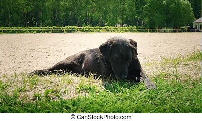 The black dog lies on the ground under the scorching summer sun. The dog rests