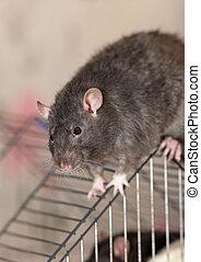The black domestic rat