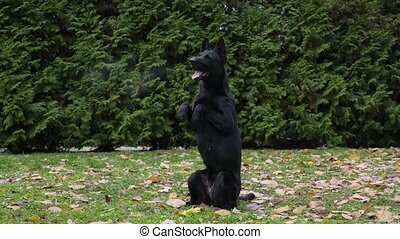 The Black German Shepherd stands on its hind legs with its front legs out in front of it. The dog stuck out its pink tongue, steam coming out of its mouth. A pet in an autumn park on green grass sprinkled with fallen leaves. Slow motion.