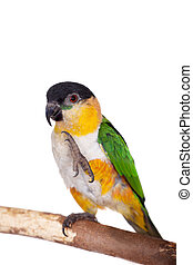 The black-headed caique, Pionites melanocephalus, on white...