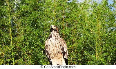 the black kite. bird of prey against a backdrop of green park trees. Zoo.