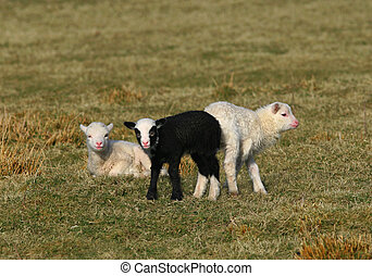 The Black Lamb and Friends