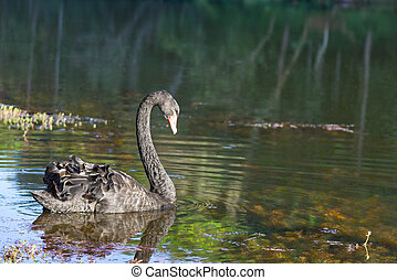 The black swan swimming Background water and trees at Pang Tong reservoir in Mae Hong Son , Thailand.