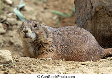 The black-tailed prairie dog is family of Squirrels