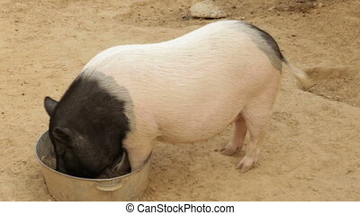 The black white Vietnamese pig eats from the trough - A...
