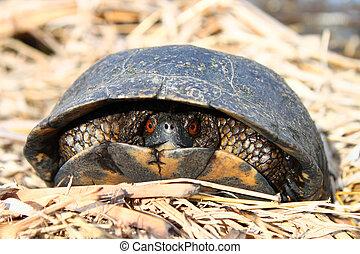 Blandings Turtle (Emydoidea blandingii) - The Blandings...