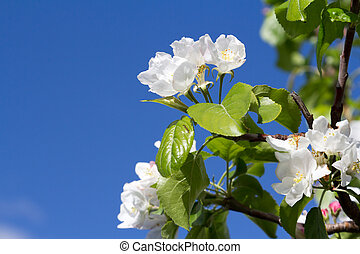 blooming Apple tree against a background of the blue sky