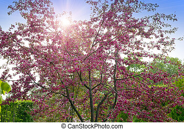 The blossoming apple tree with pink flowers