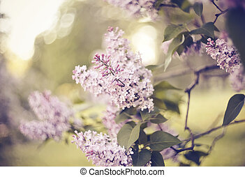 The blossoming lilac in the spring.