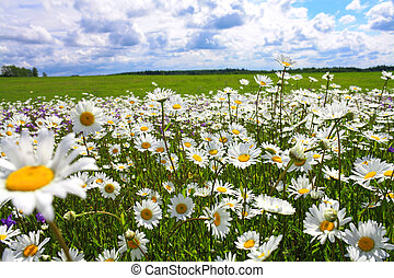 blossoming summer meadow with flowers of camomiles