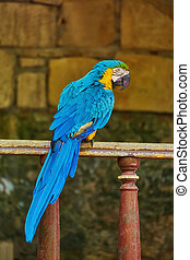 The Blue-and-gold Macaw