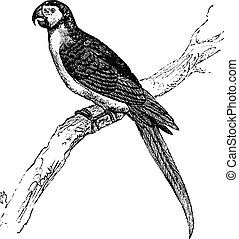 The Blue-and-Yellow Macaw or Ara ararauna vintage engraving.