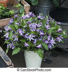 the Blue bells in a zinc bucket for sale near the entrance to the store