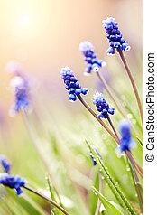 The blue blossoming muskari in dew drops