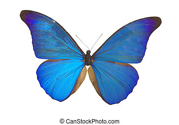 The Blue Butterfly - blue butterfly isolated on white...