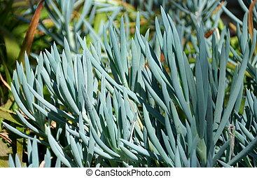 The Blue-Chalk Sticks plants, with the scientific name Senecio Serpens