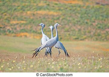 Blue Crane - The Blue Crane, Grus paradisea, is an ...