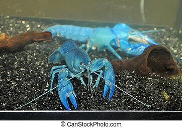 The blue crawfish in aquarium