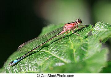 The blue-tailed damselfly (Ischnura elegans) in spring in...