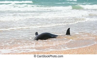 The body of a dead bottlenose Dolphin stranded on a sand...