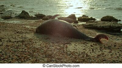 The body of a dead Dolphin stranded on a sand beach. - The...