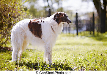 The borzoi costs on a grass.
