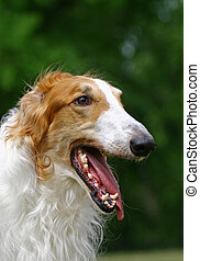 The Borzoi is a breed of domestic dog (Canis lupus familiaris) also called the Russian Wolfhound and brought to Russia from Middle-Asian countries. Having medium-length and slightly curly hair, it is