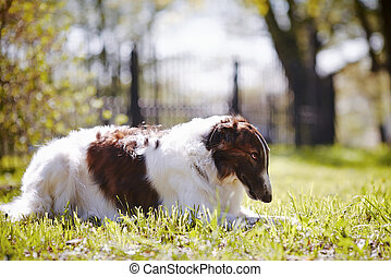 The borzoi lies on a grass.