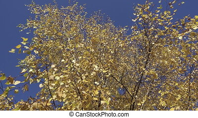 The bottom view on a birch yellow leaves against the background of the blue sky in autumn sunny day