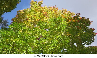 The bottom view on a maple with green yellow and red leaves against the background of the blue sky in autumn sunny day