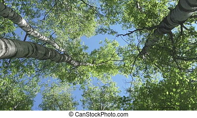 The bottom view on the birch wood against the background of the blue sky in sunny day