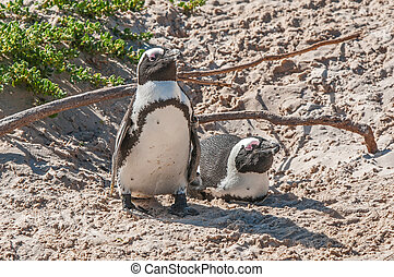 The Boulders section of the Table Mountain National Park in Simons Town is home to a land-based colony of endangered African Penguins.