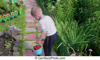 The boy collected red ripe berries in the garden. The child goes with a full bucket of berries on . Harvesting in the garden.