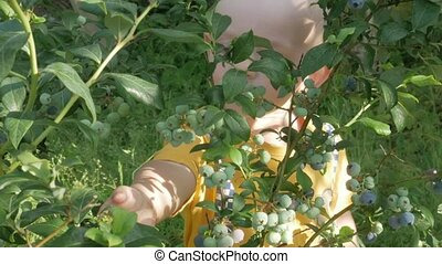 The boy is near the blueberry bush. He looks up and plucks ripe berries and eats.