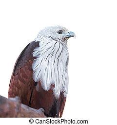 The brahminy kite (Haliastur indus) - The brahminy kite (...