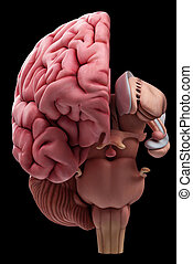 The brain anatomy