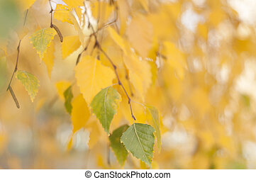birch - the branch of a birch tree on a blurred background