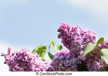 The branch of a flowering purple lilac on a background of blue sky
