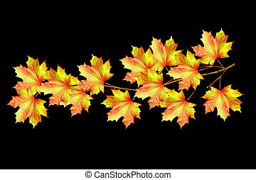 The branch of autumn maple leaves isolated on black background.